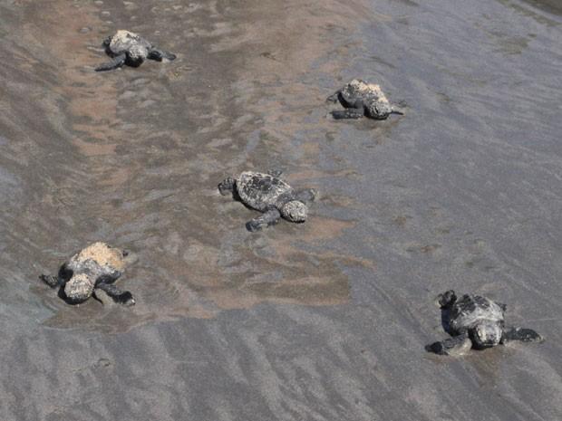 Falta de preservação em Maria Farinha ameaça espécie de tartaruga